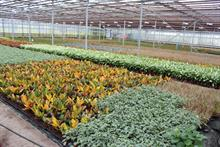 Garden centres the target for UK foliage houseplant grower
